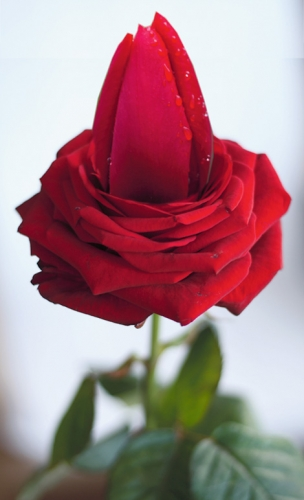 tulipana